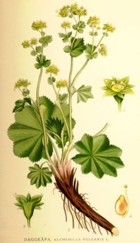 Nordens_flora_Alchemilla_vulgaris