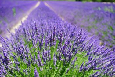 lavender-cultivation-2138398__340